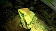 Bearded dragons basks in UVB light Stock Footage