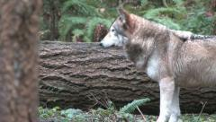 Gray Wolves moving 001 Stock Footage