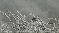 Hard frost - small bird in bush Stock Footage