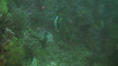 Clown triggerfish Baliastoides conspicillum on a coral reef in the Philippines Stock Footage