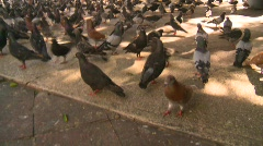Pigeons Stock Footage