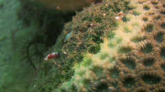Christmas tree worm, Spirobranchus giganteus on a coral reef in the Philippines Stock Footage