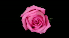 Time-lapse of pink rose opening ALPHA matte 1 Stock Footage