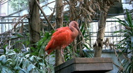 Scarlet Ibis drinks and scratches Stock Footage