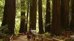 Stock Video Footage of Giant Redwoods in Muir Woods