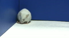 Mouse cleaning Stock Footage
