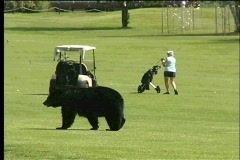 Bears on Golf Course - stock footage