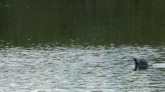 ducks takeflight - stock footage