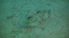 Flying gurnard, dactyloptena orientalist on a coral reef in the Philippines Stock Footage