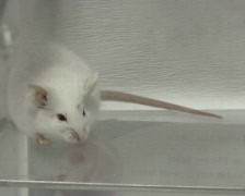 Mouse in lab PAL Stock Footage