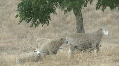 Stock Video Footage of sheep under shade of tree