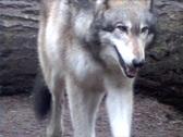 Gray Wolf toward camera Stock Footage