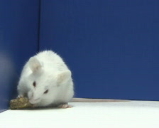 Mouse eating PAL Stock Footage
