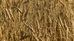 agriculture, ripe wheat, #1 late summer, close up - stock footage