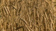 Stock Video Footage of agriculture, ripe wheat, #1 late summer, close up