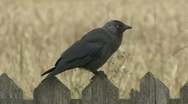 Stock Video Footage of Jackdaw on fence in front of wheat field 2