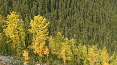 Mountain forest, larch turning in autumn Stock Footage