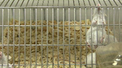 mouses in cage - stock footage