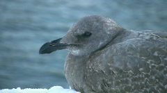 Wise old gull. Stock Footage