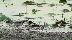 Wetland Bird - Plover, Dotterel, Water, Swamp, Lake Stock Footage