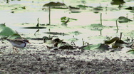 Stock Video Footage of Wetland Bird - Plover, Dotterel, Water, Swamp, Lake