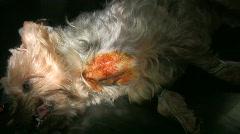 Animal surgery Stock Footage