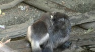 Wildlife pacific Northwest- Wolverines Stock Footage