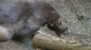 Wolverines Close up Stock Footage