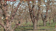 Fruit Blossoms Stock Footage
