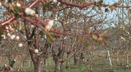 Cherry orchard in the spring Stock Footage