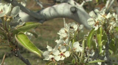 Orchard Blossoms Stock Footage