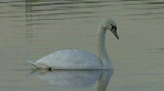 Swan swims slowly 9 Stock Footage