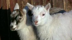 Goat kids Stock Footage