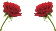 Stock Video Footage of Time-lapse of two dying red roses isolated on white 5