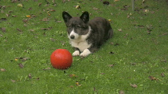 Welsh Corgi and his ball 3 Stock Footage