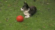 Welsh Corgi and his ball 3 Stock Footage