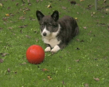 Welsh Corgi and his ball 3 PAL Stock Footage
