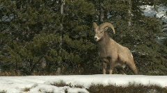 Big Horn Sheep Stock Footage