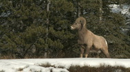 Stock Video Footage of Big Horn Sheep