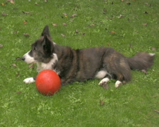 Welsh Corgi and his ball 4 PAL Stock Footage