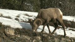 Big horn sheep 1b Stock Footage