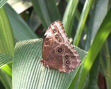 Giant Forest Owl Butterfly (Caligo eurilochus) Stock Footage