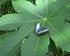 Blue Morpho Butterfly Stock Footage