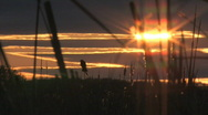 Stock Video Footage of Bulrush blackbird sunset 001