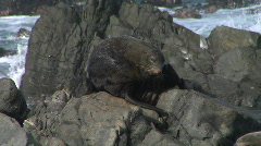 NZ Fur Seal on Rock - stock footage