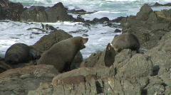 Fur Seals Challenge  - stock footage