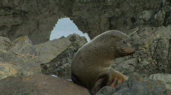 Cute Seal Gets Comfy Stock Footage