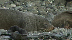 Resting Seals - stock footage