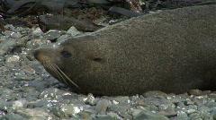 Fur Seal Tries to Sleep - stock footage