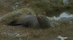 Fur Seal Gets Comfortable Stock Footage